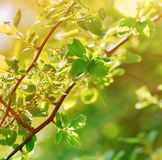 Spring leaves lit by sunlight. Fresh spring leaves lit by sun rays in forest Stock Image