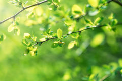 Spring leaves lit by sunlight Stock Photography