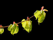 Spring leaves Royalty Free Stock Photography