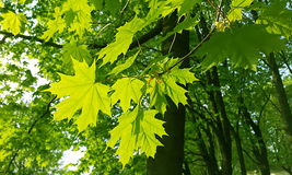 Spring leaves of maple tree Stock Images