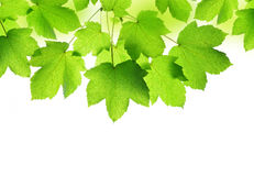 Spring leaves of maple tree Royalty Free Stock Image