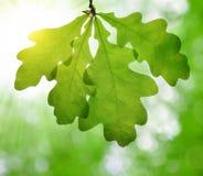Spring leaves of oak tree Stock Photo