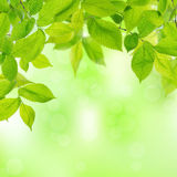 Spring leaves Royalty Free Stock Images