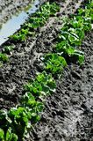 Spring Lettuce. Rows of baby lettuce in a field Royalty Free Stock Photo