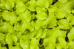 Spring Lettuce Background Royalty Free Stock Image