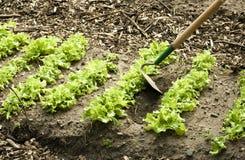 Spring lettuce bed Stock Photo