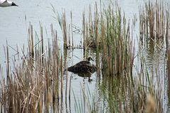Waterfowl life, grebe and seagull Royalty Free Stock Photo