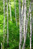 Spring birch branches Stock Image