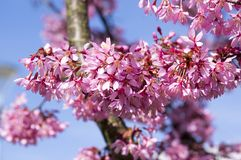 Free Spring Light Pink Tree Prunus Campanulata Okame In Bloom Against Blue Sky Royalty Free Stock Images - 109649629