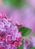 Spring lilac Royalty Free Stock Images