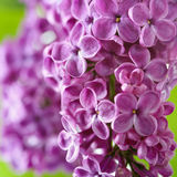 Spring Lilac Royalty Free Stock Image