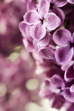 Spring Lilac Royalty Free Stock Photo
