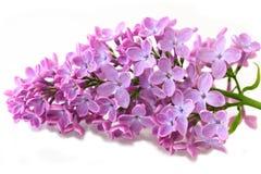 Spring Lilac Stock Photo