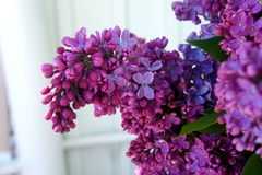 Lilac close-up, branches, in the sun Spring flowering of fragrant lilacs stock photography