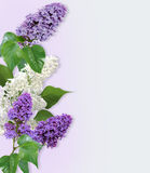 Spring lilac branches with leaves . Stock Image