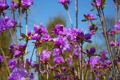 Spring lilac Bush, Labrador tea on a sunny day with beautiful flowers. Spring lilac bush, rosemary on a sunny day with beautiful flowers. Botanical Garden Stock Photography