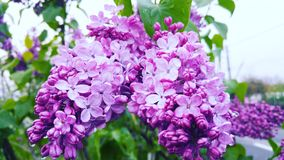 Spring lilac flower Stock Photo