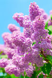 Spring lilac flowers Royalty Free Stock Photo
