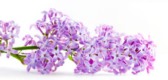Spring lilac flowers blooming. Isolated on white, Royalty Free Stock Photos