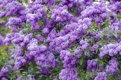 Spring lilac flowers Stock Image