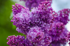 Spring lilac flowers Royalty Free Stock Photography
