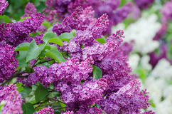 Spring lilac flowers Stock Photography