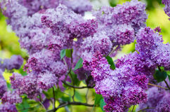 Spring lilac flowers Stock Images