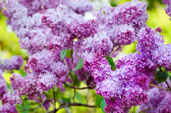 Spring lilac flowers Stock Photos