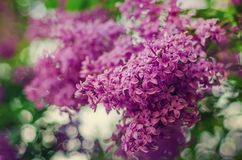 Spring lilac flowers. Branch of lilac flowers with green leaves, floral natural vintage hipster background stock photo
