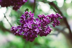 Spring lilac flowers. Branch of lilac flowers with green leaves, floral natural vintage hipster background stock photos