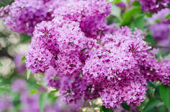 Spring lilac flowers Royalty Free Stock Photos