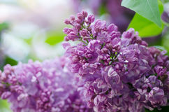 Spring lilac flowers Royalty Free Stock Image