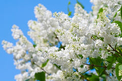 Spring lilac flowers closeup Royalty Free Stock Images