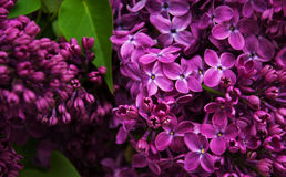 Spring lilac flowers Stock Photo