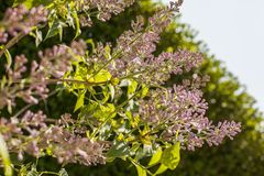 Spring - lilac flowers in the sunshine. This image shows some lilac flowers in the sunshine. It was taken in May 2018 stock images
