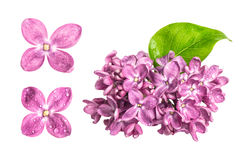 Spring lilac flowers with water drops isolated on white backgrou Stock Photography