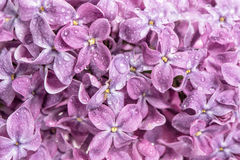 Spring lilac flowers with water drops. Nature background Stock Image