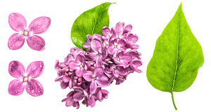 Spring lilac flowers with water drops. Pink blossoms and green l. Spring lilac flowers with water drops isolated on white background. Pink blossoms and green Stock Photo