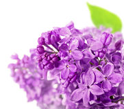 Spring lilac flowers on white background Stock Images