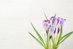 Spring lilac and purple crocus in a flowerpot. Green leaves. Spring card. Royalty Free Stock Images