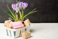Spring lilac and purple crocus in a flowerpot. Green leaves. Spring card. Royalty Free Stock Image