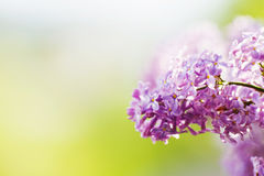 Spring lilac violet flowers Royalty Free Stock Images