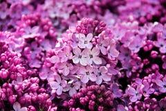 Spring lilac violet flowers. Image of spring lilac violet flowers Royalty Free Stock Image