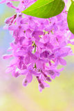 Spring lilac violet flowers Royalty Free Stock Photo