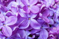 Spring lilac violet flowers texture. abstract soft floral background. Royalty Free Stock Image