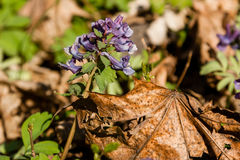 Spring lilac wildflowers among autumn leaves Stock Image