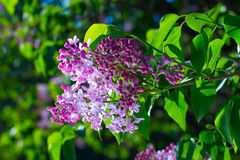 Spring lilacs. Royalty Free Stock Images