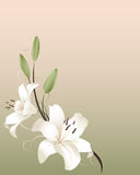 Spring Lilies. Two white lilies & buds on a warm spring background, Plenty of copyspace Stock Photography