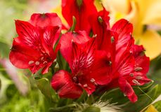 Spring lilly bouquet of alstromeria Stock Photography