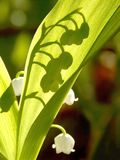 Spring lilly of the valley in the rays of light Royalty Free Stock Photography